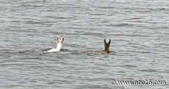 Albino deer seen swimming across Lake Winneconne - WGBA-TV