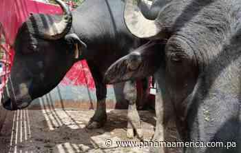 Entregan ejemplares para mejorar hato bufalino en Coclesito - Panamá América
