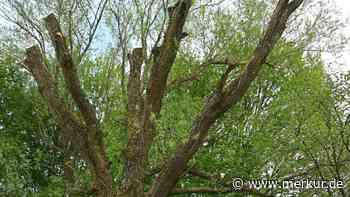 Fahrenzhausen: Landwirt schneidet öffentliche Bäume in Fahrenzhausen radikal zurück: Einige werden das wohl... - Merkur Online
