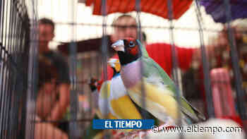 Hieren a hombre por robarle un pájaro en Santo Tomás, Atlántico - El Tiempo