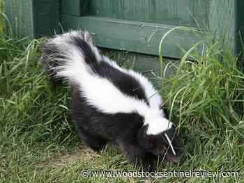 Ontario had three rabid skunks, one bat - Woodstock Sentinel Review