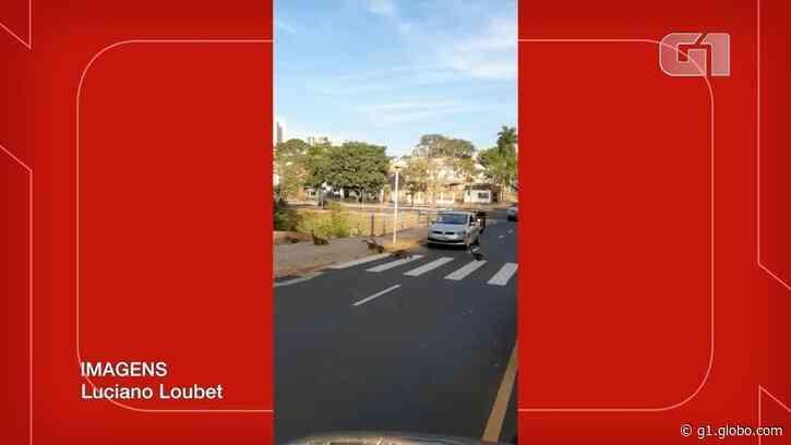 Família com 18 quatis atravessa na faixa de pedestre e para trânsito em avenida de Campo Grande; VÍDEO - G1