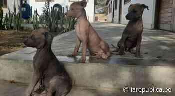 Perro peruano sin pelo: Museo de Túcume se convierte en refugio de esta raza de canes - LaRepública.pe
