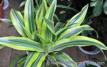 A dracena é uma planta de fácil cultivo, ideal para iniciantes - Casa e Jardim