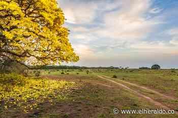 Con cañaguate, Aracataca se quiere vestir de amarillo - EL HERALDO