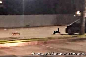 VIDEO: Little but fierce: Cat spotted chasing off coyote by Port Moody police – Penticton Western News - Penticton Western News
