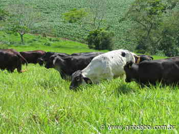 Qual a melhor raça para produzir bezerros de corte com vacas ⅝ Holandês? - Canal Rural