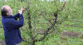 April-Minusgrade schaden den Obsterträgen in Pfinztal - BNN - Badische Neueste Nachrichten