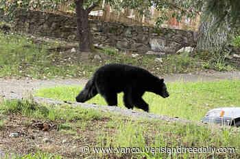 Bow-legged Ladysmith bear euthanized after vet examination - vancouverislandfreedaily.com