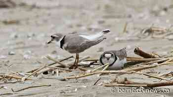 Ontario town wins right to appeal conviction for damage to piping plover habitat - CTV Toronto