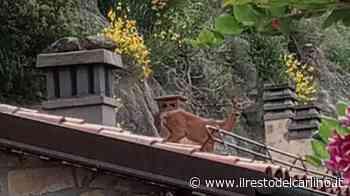 Capriolo bloccato sul tetto di una casa a Pianoro - il Resto del Carlino