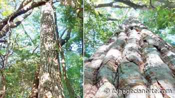 Perobas se destacam no Parque Municipal de Tapejara - Folha De Cianorte