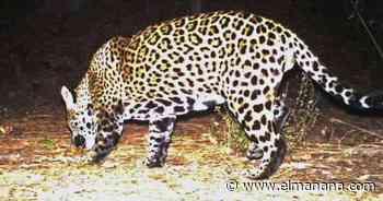 Proponen reintroducir jaguares en suroeste - El Mañana de Reynosa