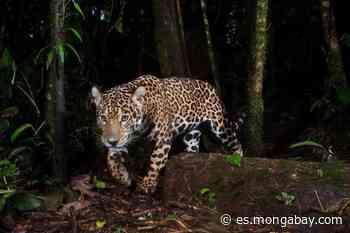 #ExpedicionesCientíficas: La científica que estudia jaguares en zona de conflicto armado - Mongabay en Español