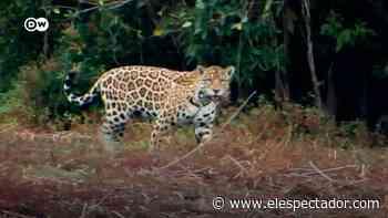 Ganaderos defienden la vida de los jaguares en los Llanos Orientales - El Espectador