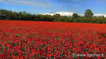 I mille papaveri rossi di Magnago - IL GIORNO
