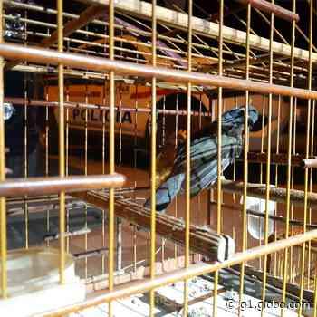 Homens são presos transportando pássaros silvestres na BR-146, em Muzambinho, MG - globo.com