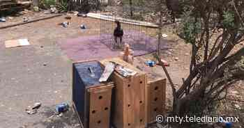 Escobedo. Detectan palenque clandestino; realizaban peleas de gallos - Telediario Monterrey