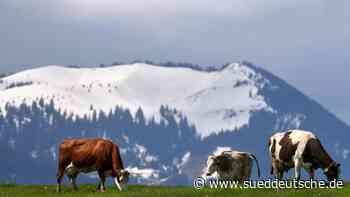 Zu viel Schnee: Kühe dürfen erst später auf Almen und Alpen - Süddeutsche Zeitung