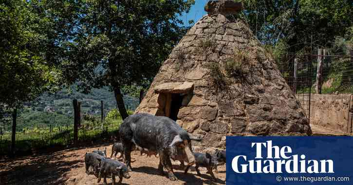 Sicily's prize pigs: can niche farms hold out against mega pork?