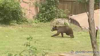 Bear spotted in Montreal's Dorval area, police urge residents to stay indoors   Watch News Videos Online - Globalnews.ca
