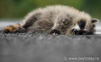 Dreaming of frying up that tasty raccoon you accidently ran over last night? The MNRF wants to know