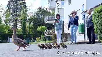 Ungewöhnliche Aktion in Bad Breisig: Warum Nachwuchs von Ente Emma im Eimer abgeseilt werden musste - Rhein-Zeitung