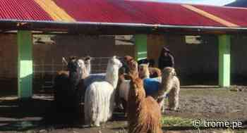 Apurímac: Familias ganaderas reciben cobertizos para proteger a sus animales de heladas - Diario Trome