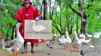 Balordi massacrano Elvis: addio al papero ciuffato, mascotte di Alzano Lombardo - IL GIORNO