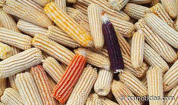 Vista Hermosa, Penjamillo, La Piedad y Tanhuato en el top ten de productores de maíz - Brunoticias