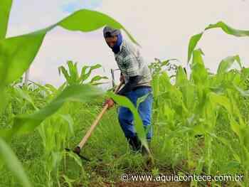 Perímetro irrigado de Lagarto estima colheita de 1M de espigas de milho verde até o São João - Aqui Acontece