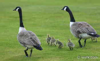 Flock Of Geese Take A Gander Inside Buffalo Car Dealership [WATCH - wyrk.com