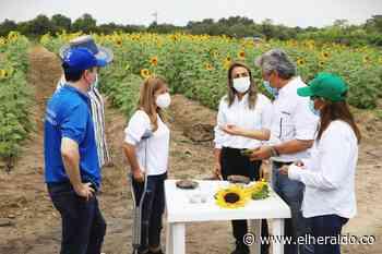 Así va el proyecto de siembra de girasoles en Santo Tomás - EL HERALDO