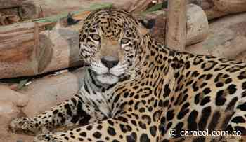 Corpochivor registra por primera vez jaguares en el suroriente de Boyacá - Caracol Radio