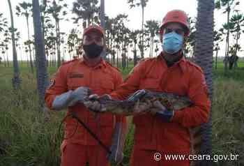 Corpo de Bombeiros resgata réptil jacaretinga de dois metros em Caucaia - Ceará