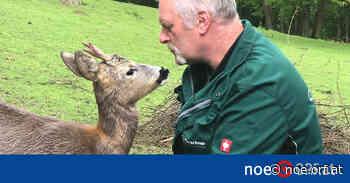 Tiere: Partnersuche für treuen Rehbock Charly - ORF.at