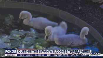 Queenie the swan welcomes three babies at Lake Eola - FOX 35 Orlando