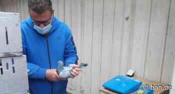 Brieftaubenzüchter aus Dettenheim kümmert sich um 100 Tiere - BNN - Badische Neueste Nachrichten
