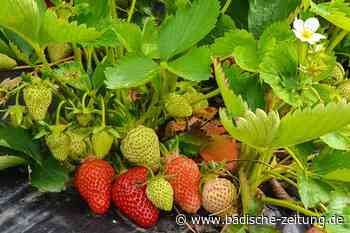 Auf dem Hartheimer Hollihof sind bald die Freiland-Erdbeeren reif - Hartheim - Badische Zeitung