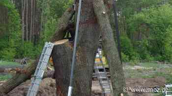 Naturschutz: NABU lässt in Nauen gefällte Bäume wieder aufstellen - moz.de
