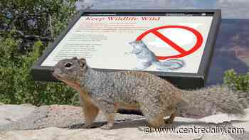 Grand Canyon National Park issues wildlife safety warning: Watch out for squirrels - Centre Daily Times
