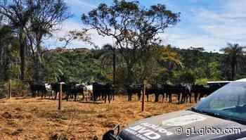 Polícia encontra em São Gonçalo do Abaeté gado furtado em Nova Ponte - G1