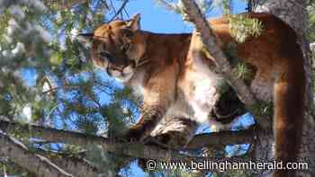 Whatcom County trail and nearby campsites closed for now because of cougar interaction - Bellingham Herald
