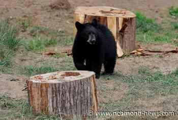 Quebec confirms a young bear captured near Montreal has been euthanized - Richmond News