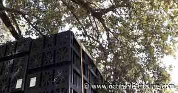 Castelnau-le-Lez - Une branche brisée du Chêne remarquable de Castelnau ! - OCCITANIE tribune