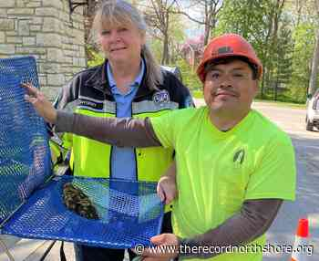 Trio of lucky ducks rescued from sewer in Glencoe   The Record - The Record North Shore