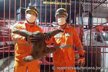 Bombeiros resgatam bicho-preguiça às margens da BR-116 em Leopoldina. - reporterkadufontana.jor.br - Reporter Kadu Fontana