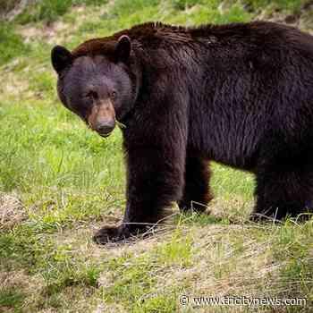 10 Port Coquitlam schools deemed 'high' hazard for bears: city report - The Tri-City News