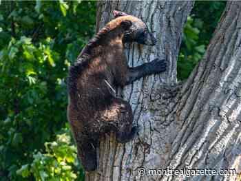 Refuge wasn't a solution for Dorval bear, wildlife ministry says - Montreal Gazette