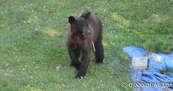 Montrealers outraged after Dorval bear safely captured then euthanized by government - Global News